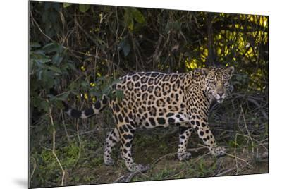 A jaguar along a riverbank in the Pantanal of Mato Grosso Sur in Brazil.-Steve Winter-Mounted Photographic Print