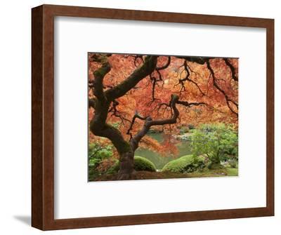 Japanese Maple, Portland Japanese Garden, Oregon, USA-William Sutton-Framed Photographic Print
