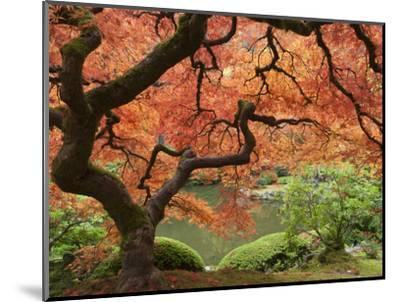Japanese Maple, Portland Japanese Garden, Oregon, USA-William Sutton-Mounted Photographic Print