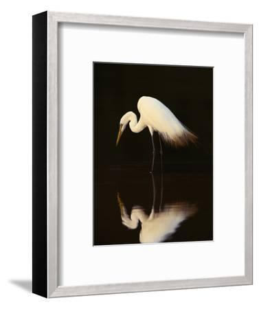 Great Egret in Lagoon, Pantanal, Brazil-Frans Lanting-Framed Photographic Print