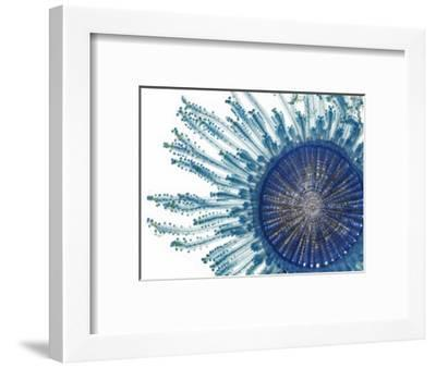 The Pigment of a Blue Button Jellyfish Blocks Ultraviolet Rays-David Liittschwager-Framed Photographic Print