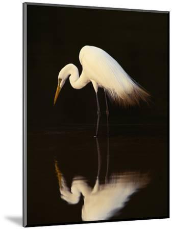Great Egret in Lagoon, Pantanal, Brazil-Frans Lanting-Mounted Premium Photographic Print