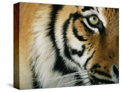 Close View of an Indian Tiger-Michael Nichols-Stretched Canvas Print