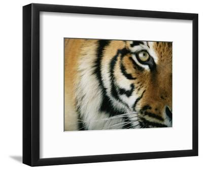 Close View of an Indian Tiger-Michael Nichols-Framed Premium Photographic Print