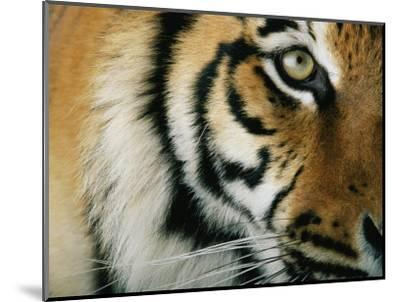 Close View of an Indian Tiger-Michael Nichols-Mounted Premium Photographic Print