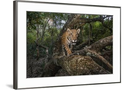 A remote camera captures a 10-month-old jaguar cub in Brazil's Pantanal region.-Steve Winter-Framed Photographic Print
