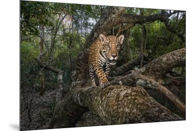A remote camera captures a 10-month-old jaguar cub in Brazil's Pantanal region.-Steve Winter-Mounted Photographic Print