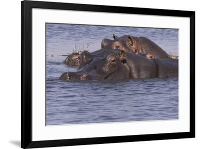 Three hippopotamus, Chobe National Park, Botswana, Africa.-Brenda Tharp-Framed Photographic Print