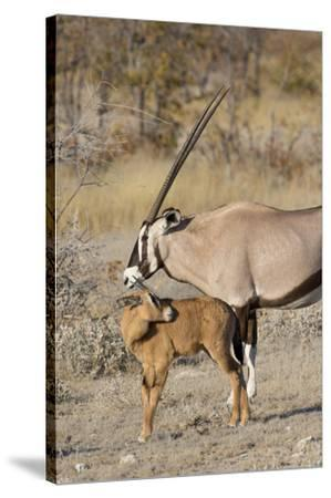 Oryx and young Etosha National Park, Namibia-Darrell Gulin-Stretched Canvas Print