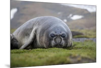 Elephant seal. Fortuna Bay, South Georgia Islands.-Tom Norring-Mounted Photographic Print