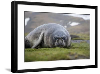 Elephant seal. Fortuna Bay, South Georgia Islands.-Tom Norring-Framed Photographic Print