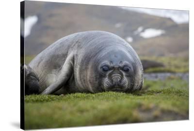 Elephant seal. Fortuna Bay, South Georgia Islands.-Tom Norring-Stretched Canvas Print