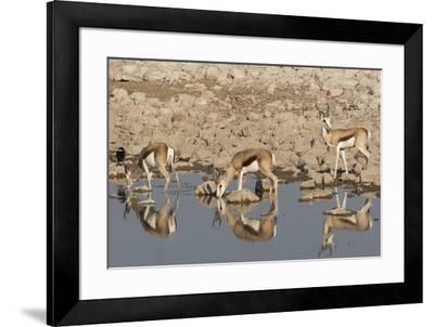 Three Springbok pause to drink at the Okaukuejo waterhole, Etosha National Park, Namibia.-Brenda Tharp-Framed Photographic Print