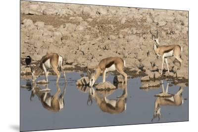 Three Springbok pause to drink at the Okaukuejo waterhole, Etosha National Park, Namibia.-Brenda Tharp-Mounted Photographic Print
