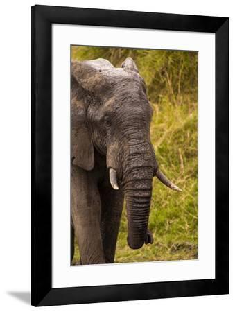 African Elephant, Sabi Sand Reserve, Mpumalanga, South Africa-Stuart Westmorland-Framed Photographic Print