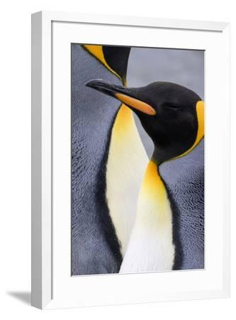 King penguin close-up showing the colorful curves of their feathers. St. Andrews Bay, South Georgia-Tom Norring-Framed Photographic Print