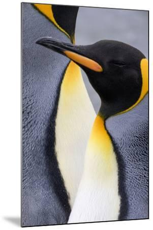 King penguin close-up showing the colorful curves of their feathers. St. Andrews Bay, South Georgia-Tom Norring-Mounted Photographic Print