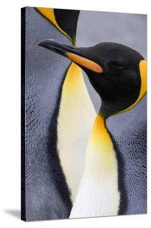 King penguin close-up showing the colorful curves of their feathers. St. Andrews Bay, South Georgia-Tom Norring-Stretched Canvas Print