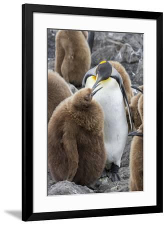 Adult King penguin with Chick. St. Andrews Bay, South Georgia Islands.-Tom Norring-Framed Photographic Print
