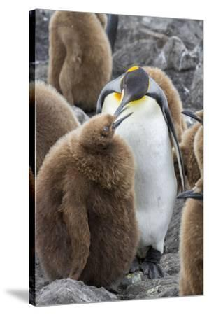 Adult King penguin with Chick. St. Andrews Bay, South Georgia Islands.-Tom Norring-Stretched Canvas Print