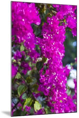 Sint Eustatius. Oranjestad, Bougainvillea flowers-Walter Bibikow-Mounted Photographic Print