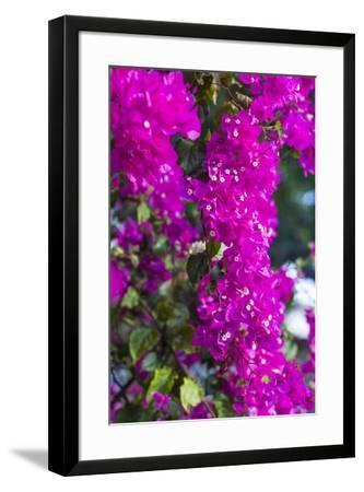 Sint Eustatius. Oranjestad, Bougainvillea flowers-Walter Bibikow-Framed Photographic Print