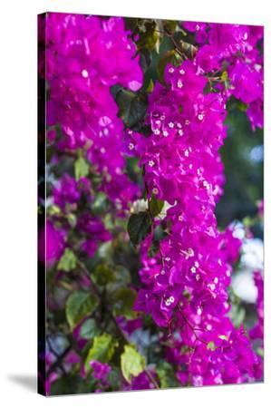 Sint Eustatius. Oranjestad, Bougainvillea flowers-Walter Bibikow-Stretched Canvas Print