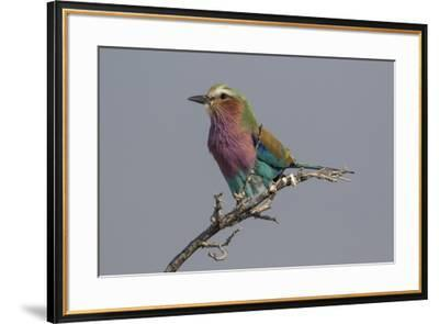Colorful Lilac Breasted Roller, Etosha National Park-Darrell Gulin-Framed Photographic Print