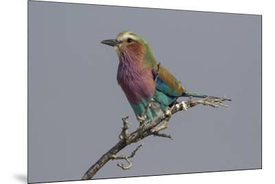 Colorful Lilac Breasted Roller, Etosha National Park-Darrell Gulin-Mounted Photographic Print