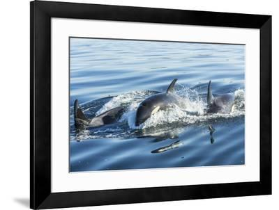 Surfacing Resident Orca Whales at Boundary Pass, border between British Columbia Gulf Islands Canad-Stuart Westmorland-Framed Photographic Print