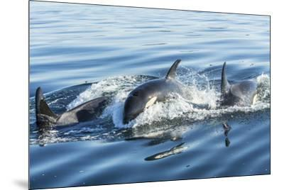 Surfacing Resident Orca Whales at Boundary Pass, border between British Columbia Gulf Islands Canad-Stuart Westmorland-Mounted Photographic Print