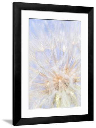 Canada, British Columbia. Yellow salsify flower seeds close-up.-Jaynes Gallery-Framed Photographic Print