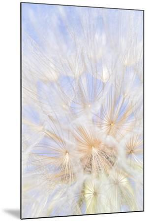 Canada, British Columbia. Yellow salsify flower seeds close-up.-Jaynes Gallery-Mounted Photographic Print