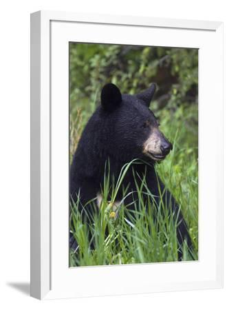 Black bear, spring rain-Ken Archer-Framed Photographic Print