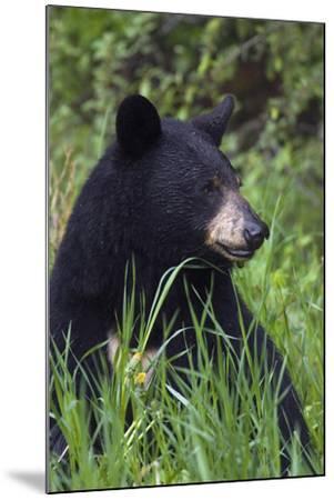 Black bear, spring rain-Ken Archer-Mounted Photographic Print