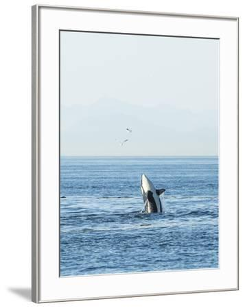Breaching Orca at Boundary Pass, border between British Columbia Gulf Islands Canada and San Juan I-Stuart Westmorland-Framed Photographic Print