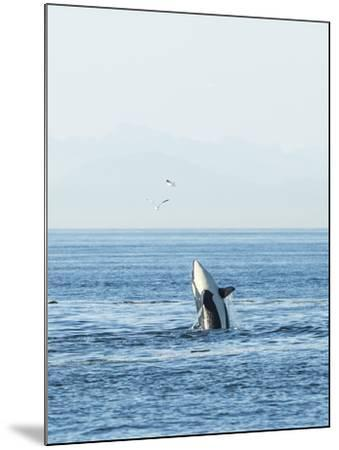 Breaching Orca at Boundary Pass, border between British Columbia Gulf Islands Canada and San Juan I-Stuart Westmorland-Mounted Photographic Print