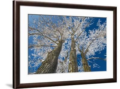Canada, Manitoba, Dugald. Hoarfrost on cottonwood tree.-Jaynes Gallery-Framed Photographic Print