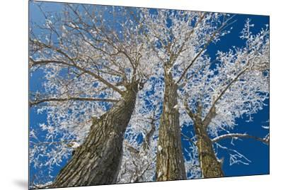 Canada, Manitoba, Dugald. Hoarfrost on cottonwood tree.-Jaynes Gallery-Mounted Photographic Print