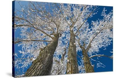 Canada, Manitoba, Dugald. Hoarfrost on cottonwood tree.-Jaynes Gallery-Stretched Canvas Print