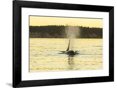 Transient Orca Whales near D'Arcy Island, Gulf Island National Park Reserve, British Columbia, Cana-Stuart Westmorland-Framed Photographic Print
