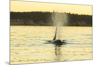 Transient Orca Whales near D'Arcy Island, Gulf Island National Park Reserve, British Columbia, Cana-Stuart Westmorland-Mounted Photographic Print