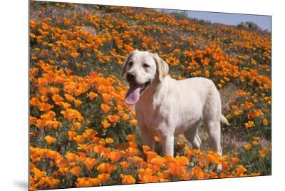 Yellow Labrador Retriever dog in a field of poppies-Zandria Muench Beraldo-Mounted Photographic Print