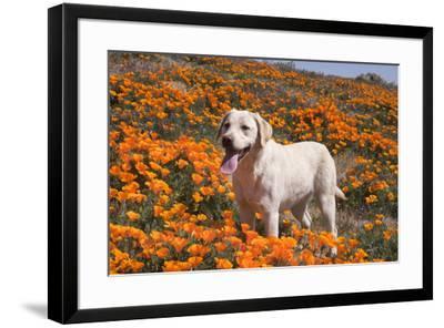Yellow Labrador Retriever dog in a field of poppies-Zandria Muench Beraldo-Framed Photographic Print