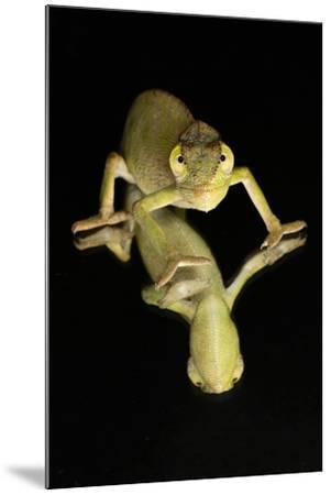 Mediterranean Chameleon and reflection-Adam Jones-Mounted Photographic Print