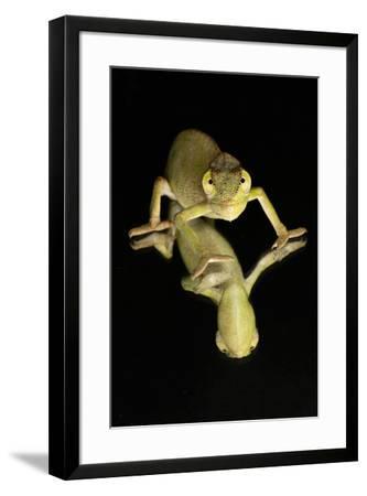 Mediterranean Chameleon and reflection-Adam Jones-Framed Photographic Print