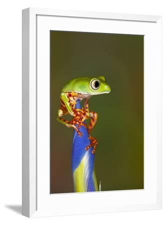 Blue-webbed gliding tree frog on Iris flower-Adam Jones-Framed Photographic Print