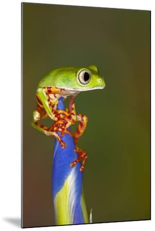 Blue-webbed gliding tree frog on Iris flower-Adam Jones-Mounted Photographic Print