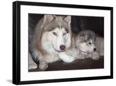 Siberian Husky Mother and puppies-Zandria Muench Beraldo-Framed Photographic Print