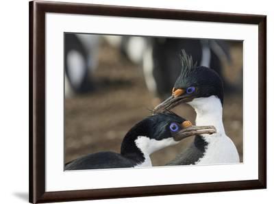 Imperial Shags, Falkland Islands-Adam Jones-Framed Photographic Print